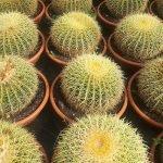 Échinocactus Grussonii