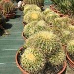 Echinocactus grusonii groupe