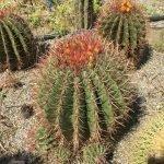 Ferocactus Stainessi