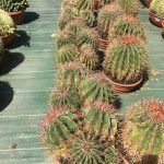 Ferocactus Stainessi groupe