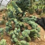 Myrtillocactus Géométrizans Cristata