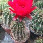 Trichocereus Huascha à fleurs rouges