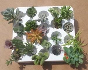 Plantes grasses en boutures